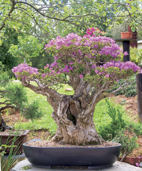 Bougainvillea Blooming Good Bonsai The Gardener