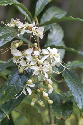 clerodendrum nutans