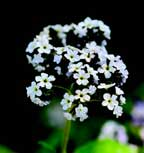 Heliotropium-arborescens.jpg