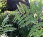 limpleaf fern