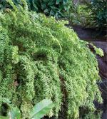 fishtail fern