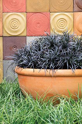 Ophiopogon-planiscapus-Nigrescens.jpg