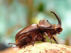 rhinoceros beetle little five