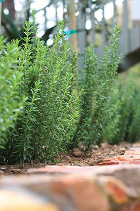 Rosmarinus-officinalis-Tuscan-Blue3.jpg