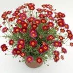 Argyranthemum frutescens 'Starlight Red'