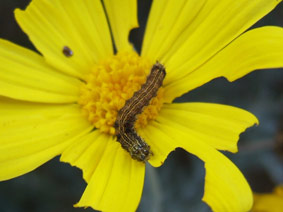 bollworm-2.jpg