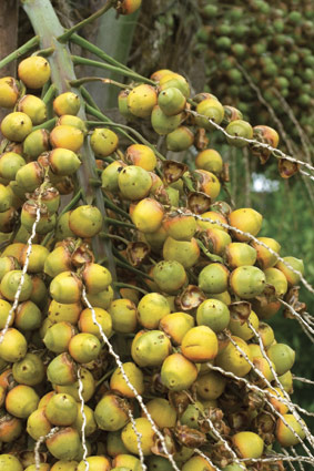 butia-capitata-fruit.jpg