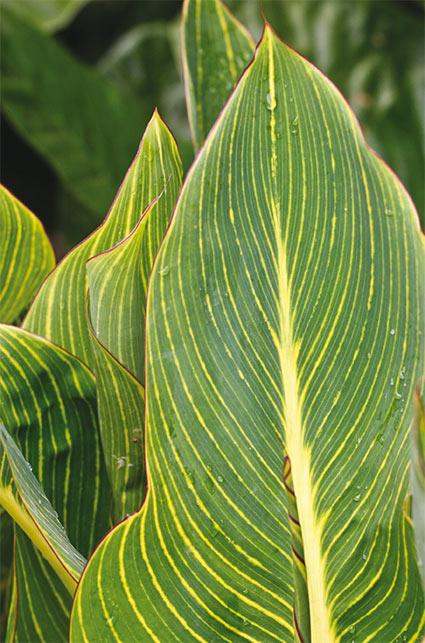 canna-tropicanna-gold.jpg