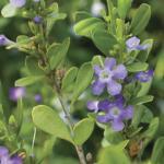 Freylinia tropica
