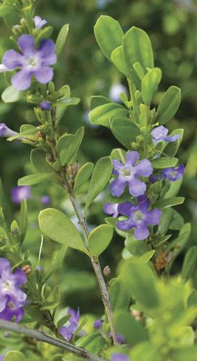 freylinia-tropica-1.jpg