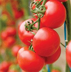 gardenVegetablesPottedTomatoes.jpg
