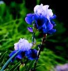 iris-germanica.jpg